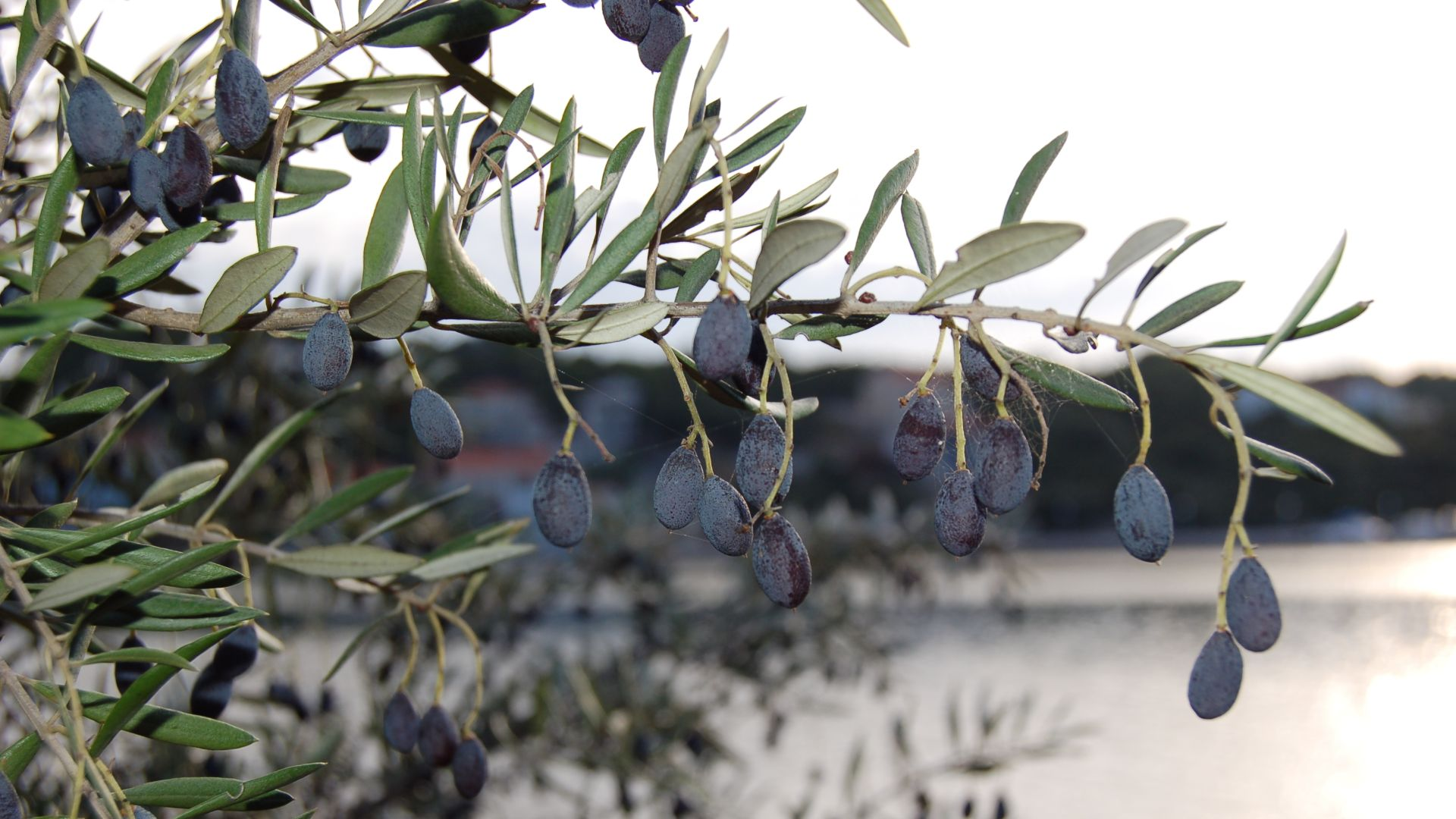olives-dugi-otok-croatia (1)